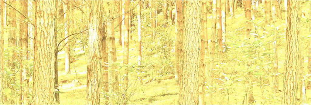 Pines in sunlight - Version 2